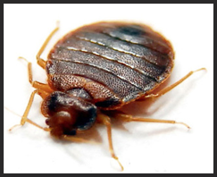 Bed Bug Control Services London