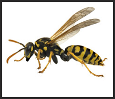 Wasp Nest Control Services London