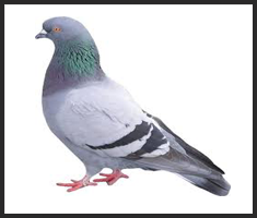 Pigeon Control Services London