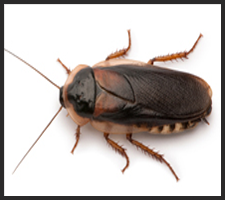Cockroach Control Services London