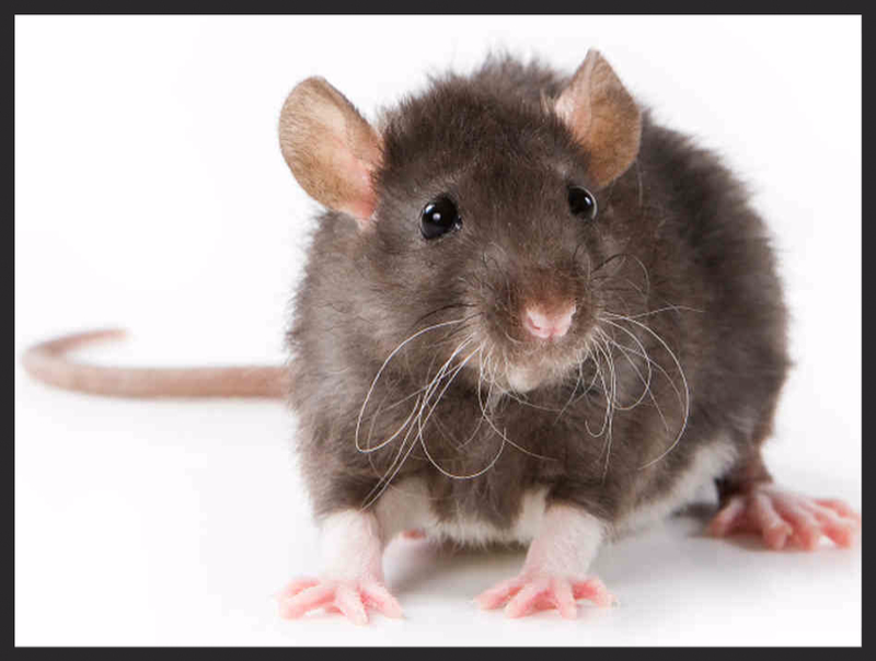 Rat Control Services London